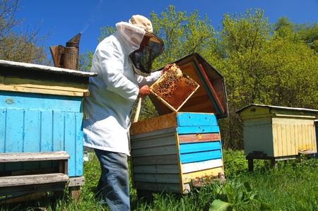 Experienced senior beekeeper working in his apiary photo