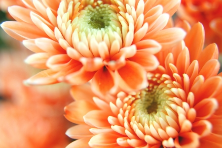 Closeup of chrysanthemum flowers