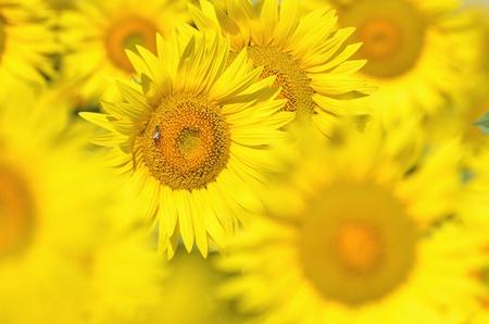 Beautiful sunflowers of Tuscany, Italy photo