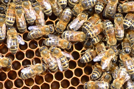 honey cell: Bees on honeycomb