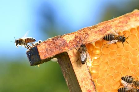 Bienen auf Honigwabe
