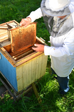 apiary: Experienced senior beekeeper making inspection in apiary