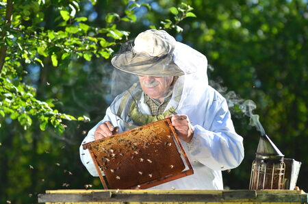 apiarist: Experienced senior beekeeper making inspection in apiary after summer season