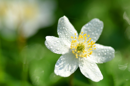closeup of anemone flower in the morning dew of springtime