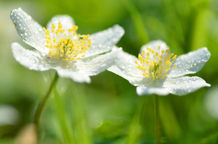closeup of anemone flowers in the morning dew of springtime photo