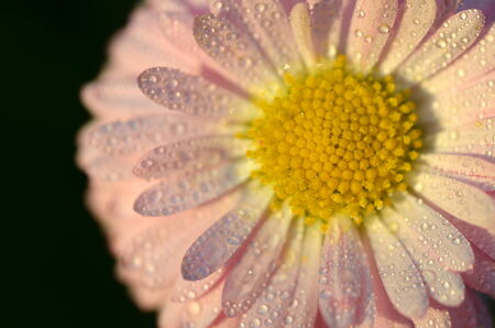 extreme closeup of a beautiful white daisy on a meadow