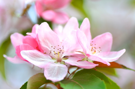 closeup of magnificent pink apple tree flowers  免版税图像