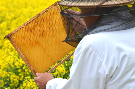 adult rape: experienced senior apiarist working in the blooming rapeseed field Stock Photo