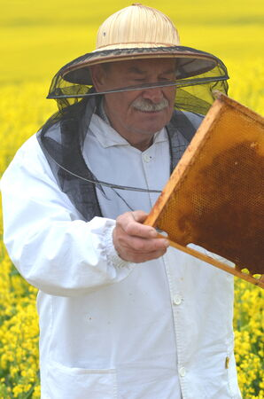 apiarist: experienced senior apiarist working in the blooming rapeseed field Stock Photo
