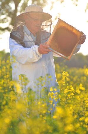 adult rape: experienced senior apiarist working in the blooming rapeseed field Stock Photo