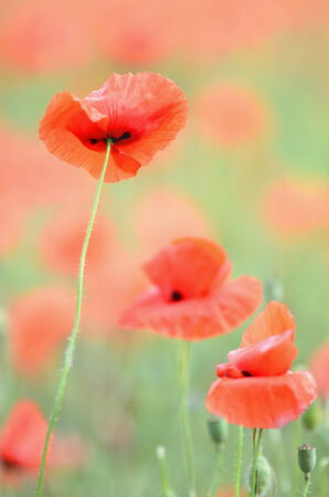 Delicate and beautiful poppy flowers on a field photo