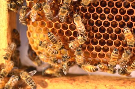flei�ige Bienen auf Bienenwabe in Bienenhaus