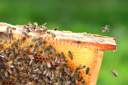 honey comb: hardworking bees on honeycomb in apiary