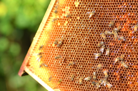 hive: hardworking bees on honeycomb in apiary