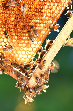 hardworking bees on honeycomb in apiary Stock Photo - 31458392