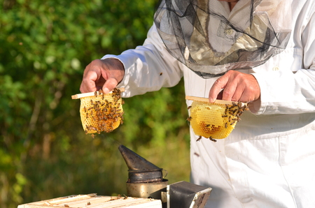 apiarist: Experienced senior beekeeper holding honeycombs from small wedding beehive in apiary
