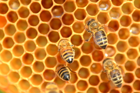 hardworking bees on honeycomb in apiary photo