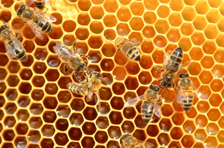 bees: hardworking bees on honeycomb in apiary