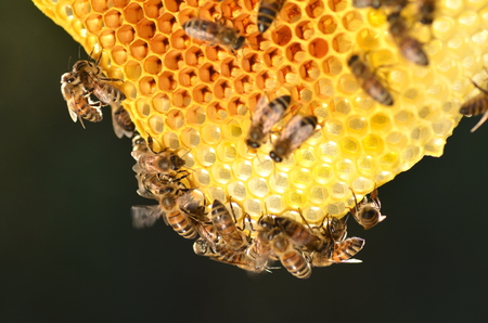 bee and pollen: hardworking bees on honeycomb in apiary