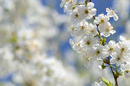 delicate: delicate fresh beautiful cherry tree flowers Stock Photo