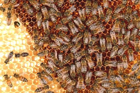 hardworking: hardworking bees on honeycomb Stock Photo