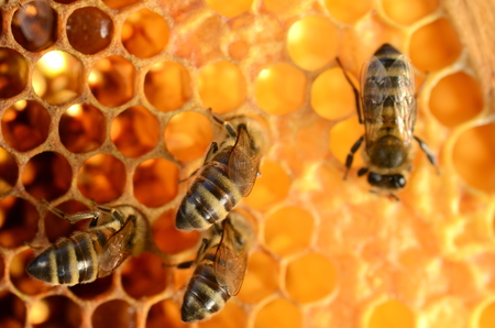 hardworking bees on honeycomb Stock Photo