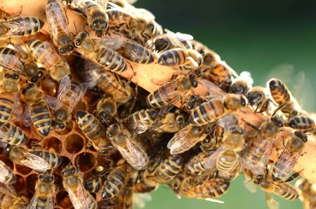 hardworking: hardworking bees on honeycomb in the springtime
