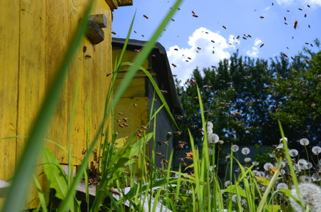 bee swarm: Busy bees returning with honey and pollen in apiary in the springtime