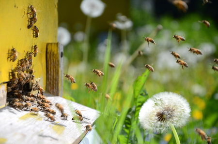 returning: Busy bees returning with honey and pollen in apiary in the springtime