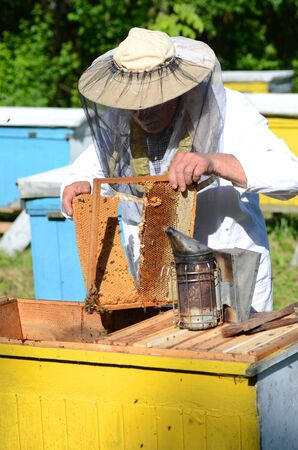 apiarist: Experienced senior apiarist cutting out piece of honeycomb larva in apiary in the springtime Stock Photo