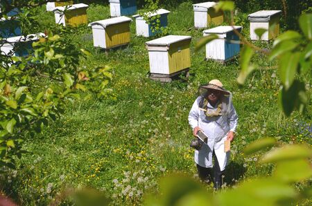apiarist: Experienced senior making in apiarist apiary inspection in the springtime