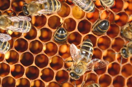 macro animals: closeup of bees on honeycomb