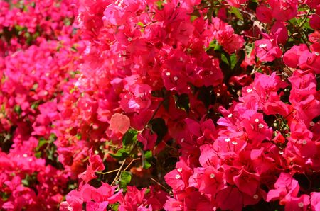 delicate: Gorgeous and delicate bougainvillea flowers on Tenerife
