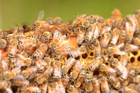 apiary: closeup of bees on honeycomb in apiary