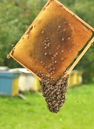apis: bees on honeycomb in apiary