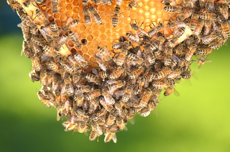 apiarist: swarm of bees on honeycomb in apiary