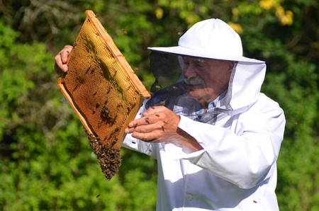 senior apiarist making inspection in apiary in the summertime photo