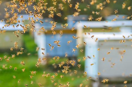 Schwarm der Bienen im Bienenhaus