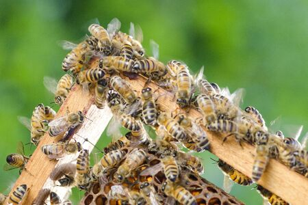 apis: bees on honeycomb in apiary in the summertime