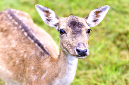 fallow deer on a meadow Stock Photo