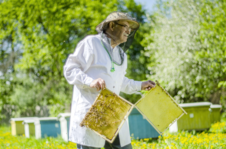 senior apiarist making inspection in apiary in the springtime