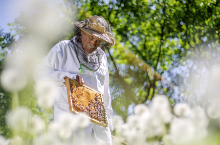 senior apiarist making inspection in apiary in the springtime Banque d'images - 119665079