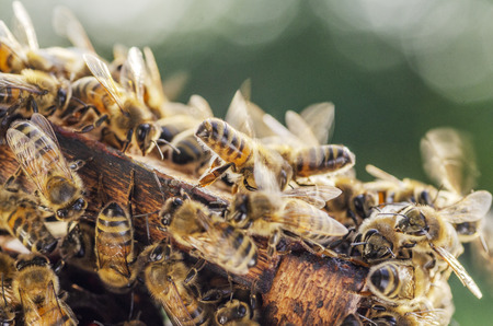 Hardworking bees on honeycomb in apiary in late summertime Stock Photo