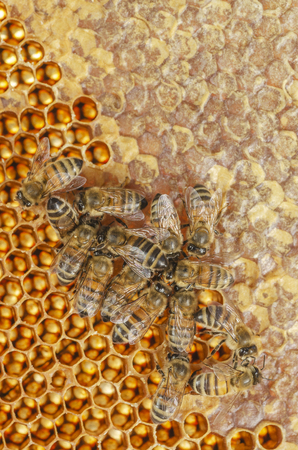 Hardworking bees on honeycomb in apiary in late summertime 免版税图像