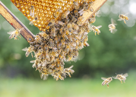 Hardworking bees on honeycomb in apiary in late summertime Imagens
