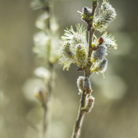 closeup of delicate willow catkins in the springtime