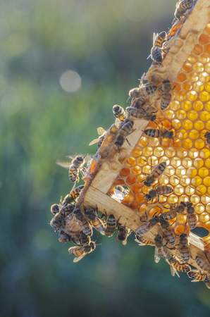 honey bees on honeycomb in apiary in late summertime 写真素材