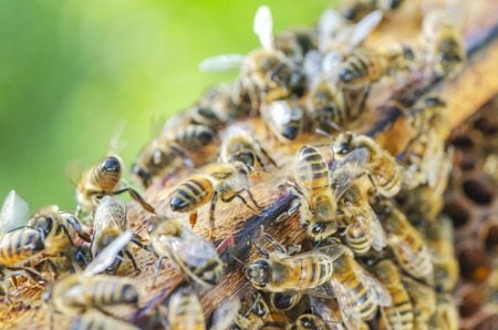 honey bees on honeycomb in apiary in late summertime Stock Photo