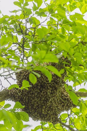 swarm of honey bees hanging up on a tree in summertime 写真素材