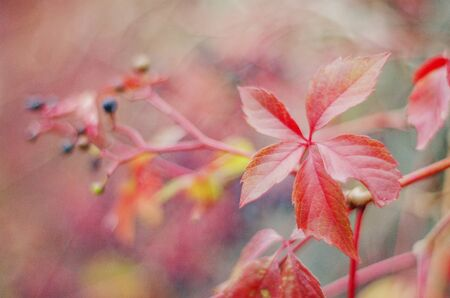 Colorful woodbine leaves and fruits in autumn scenery